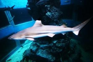 ฉลามหูดำ