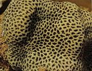 ปะการังตาข่าย