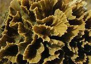ปะการังดอกจอก