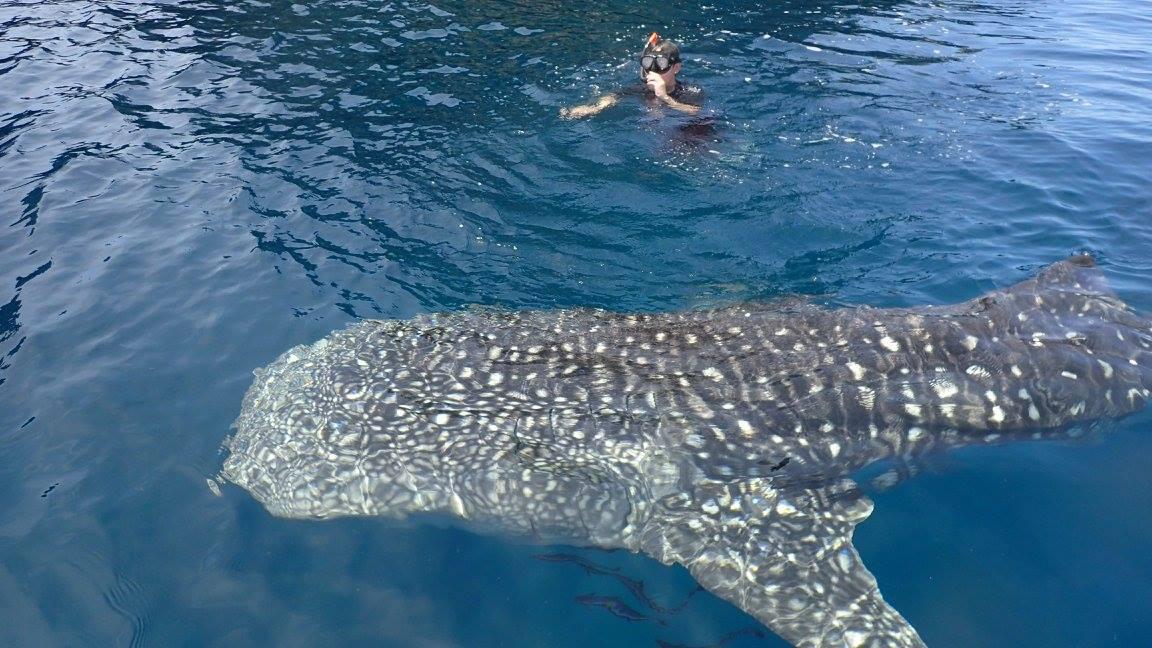 ดำน้ำกับฉลามวาฬ