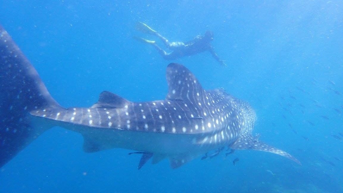 ว่ายน้ำกับฉลามวาฬ