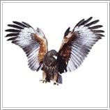 bird hawe