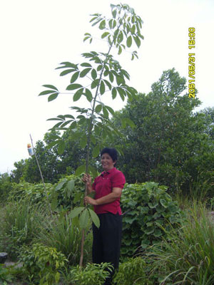 ต้นยางพารา