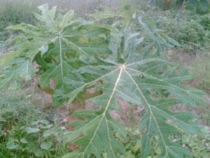 ต้นมะละกอที่ติดเชื้อ