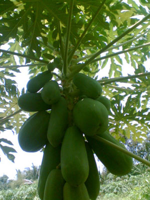 ต้นมะละกอที่ติดเชื้อ หลังใช้ นาซี 778 ก็ออกดอกออกผลได้ดีกว่าเดิม