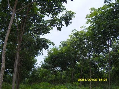ต้นยางซ้ายมือใช้ นาซี778 ขวามือไม่ได้ใช้เปรียบเทียบ แตกต่างกันอย่างชัดเจน