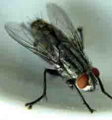 แมลงวันบ้าน