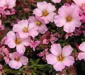 ดอกป้านหลินฮวา