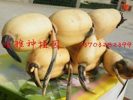 หน้าตาเป็นหยั่งงี้ครับ รากบัวสายพันธุ์ไทยที่ไปโด่งดังที่ประเทศจีน  ฮวาฉีเหลียน