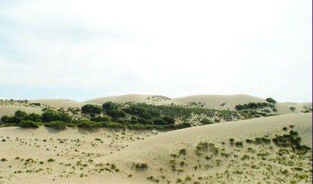 ต้นซาหลิ่วที่ขึ้นอยู่ในทะเลทราย