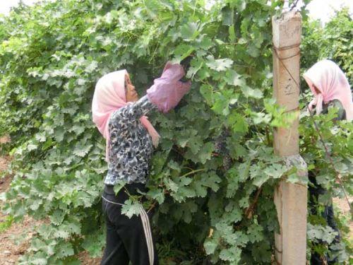 การดูแลสวนองุ่น