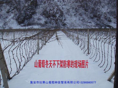 องุ่นสายพันธุ์ต้านทานอากาศหนาวเย็นที่ไม่ต้องกลบต้นฝังโคนในหน้าหนาว