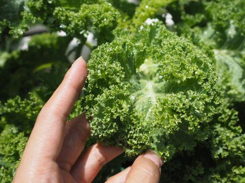 ผักเคล kale คะน้าใบหยิก ฟาร์มกรุงเทพ ขายผักเคล ผักเคล ราชินีผัก superfood
