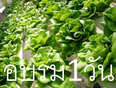 อบรมปลูกผักไฮโดร การปลูกผัไฮโดรโปนิกส์ เรียนปลูกผักไฮโดร เรียนปลูกพืชไร้ดิน อบรมการปลูกพืชไร้ดิน
