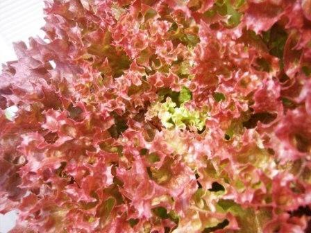 เรดคอรอล Red Coral