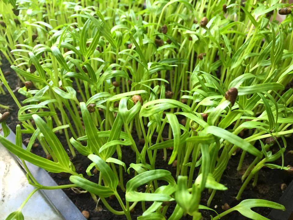 การปลูกต้นอ่อนผักบุ้ง ต้นอ่อนผักบุ้ง วิธีการปลูกต้นอ่อนผักบุ้ง วิธีปลูกต้นอ่อนผักบุ้ง ผักบุ้ง เมล็ดผักบุ้ง ต้นอ่อนผักบุ้ง เมล็ดงอก ผักงอก เมนูต้นอ่อน เมนูต้นอ่อผักบุ้ง