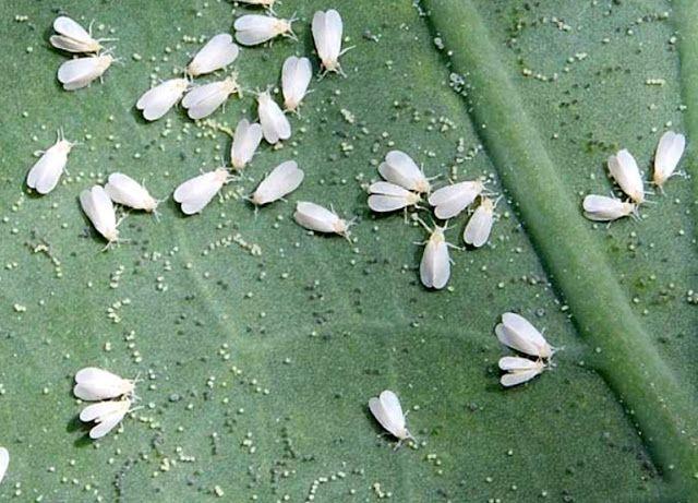 แมลง ขั้นตอนการกำจัด วิธีควบคุม ผักไฮโดร แมลงผักไฮโดร ผักไฮโดรโปนิกส์ ศัตรูพืช