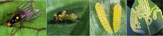 แมลงวันหนอนชอนใบ หนอนชอนใบ แมลงหวี่ แมลงวันแมลงหวี่ หนอนชอนใบไฮโดร ไฮโดรโปนิกส์ แมลงผักไฮโดร