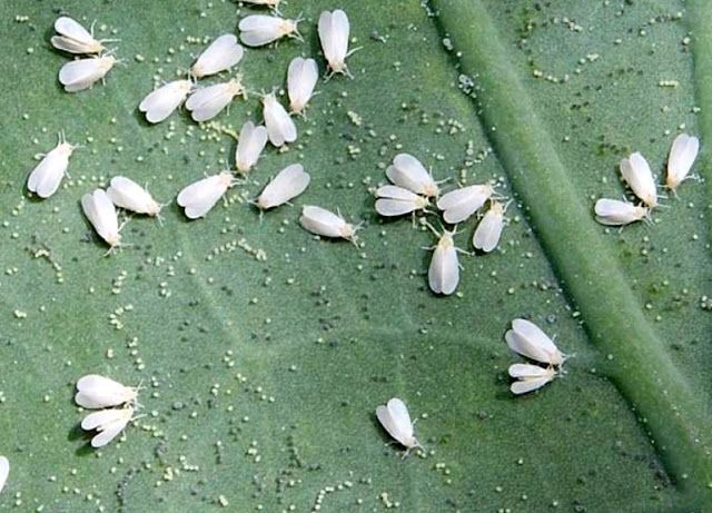 แมลงหวี่ขาว แมลงหวี่ขาว ตัวอ่อน วิธีป้องกัน วิธีกำจัดแมลงหวี่ขาว แมลงหวี่ขาวไฮโดรโปนิกส์ แมลงหวี่ขาวไฮโดร