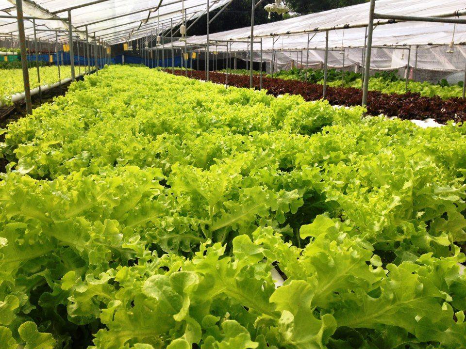 ช่องทางการขายผัก การขายผักสลัด ขายผักสลัดที่ไหนดี ตลาดผักไฮโดรโปนิกส์
