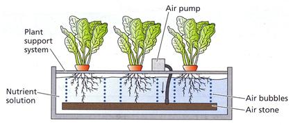 ผักไฮโดร การทำงานของรากผัก ผักไฮโดรโปนิกส์ รากผัก ระบบไฮโดร