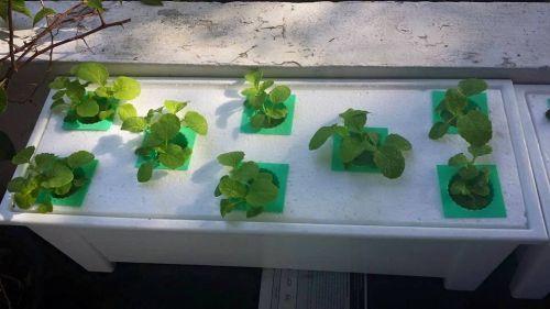 การปลูกผักน้ำนิ่ง การปลูกผักไฮโดรแบบง่ายๆ มือใหม่หัดปลูกไฮโดร ปลูกผักไฮโดรทำไง ผักไฮโดรโปนิกส์น้ำนิ่ง ผักไฮโดรน้ำนิ่ง