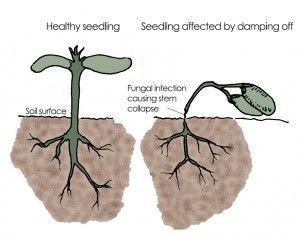 โรคพืช โรคในพืชต้นอ่อน โรคโคนเน่า โรคเน่าคอดิน โรคเน่า ต้นเน่า ลำต้นหัก