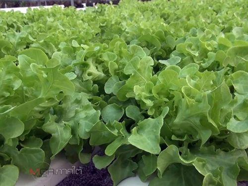 ปลูกผักไฮโดร อาชีพปลูกผัก การปลูกผักไฮโดร วิธีปลูกผักไฮโดรโปนิกส์ ปลูกผักไฮโดรโปนิกส์เป็นอาชีพ เริ่มปลูกผักไฮโดร ปลูกผักไฮโดรในพื้นที่1ไร่