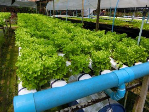 การปลูกผักไฮโดร การทำแปลงผักไฮโดร ผักไฮโดรโปนิกส์หารายได้ ทำธุรกิจปลูกผักไฮโดร ผักไร้ดิน