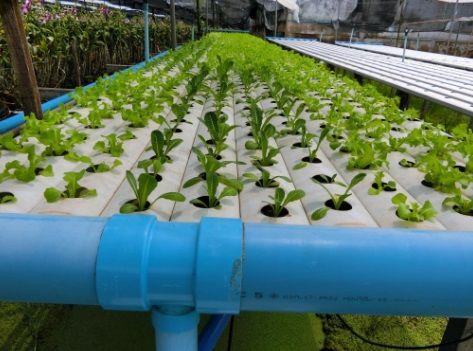 การปลุกผักไฮโดรเป็นอาชีพ การปลูกผักไฮดดรโปนิกส์ ปลุกผักไฮโดรหารายได้ ผักไร้ดินหารายได้เสริม