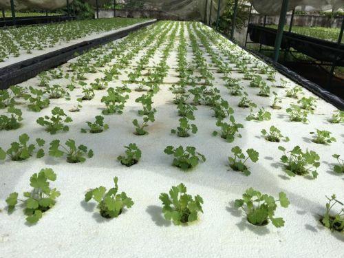 ปลูกขึ้นฉ่ายไฮโดรโปนิกส์ ปลูกผักไทยไฮโดร การปลูกผักไทยไฮโดรโปนิกส์