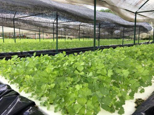ผักไฮโดร ขึ้นฉ่าย คึ่นฉ่าย ปลูกผักไร้ดิน การปลูกผักไฮโดรโปนิกส์ อุปกรณ์ปลูกผัก ทำธุรกิจผัก