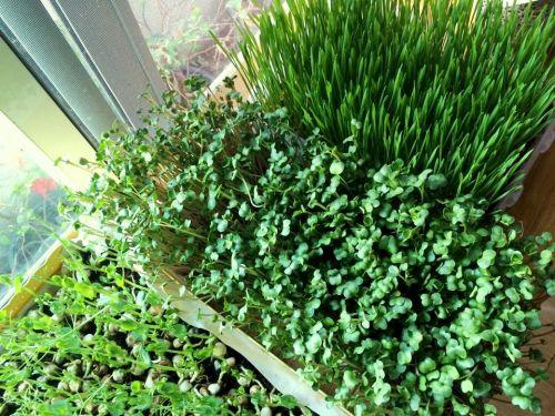 ต้นอ่อน แหล่งขาย ที่ขาย เมล็ดงอก ผักงอก ต้นอ่อนทานตะวัน ต้นอ่อน ผักงอก ต้นอ่อนไควาเระ Microgreen
