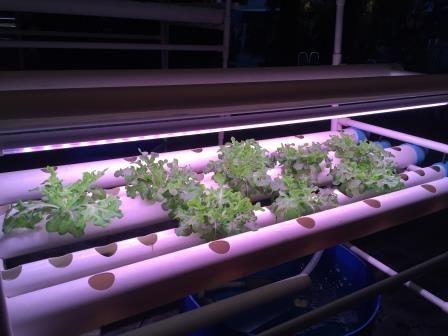 หลอดLED LED hydroponic หารปลูกพืช ใช้หลอดled ปลูกผักโดยใช้หลอดled led for growing led light hydroponics ผักสลัด หลอดไฟ