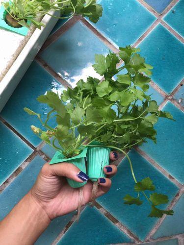 ปลูกผักน้ำนิ่ง ปลูกผักไฮโดรน้ำนิ่ง ปลูกผักน้ำนิ่งในขวด การปลูกผักน้ำนิ่ง วิธีปลูกผักน้ำนิ่ง ไฮโดรโปนิกส์น้ำนิ่ง