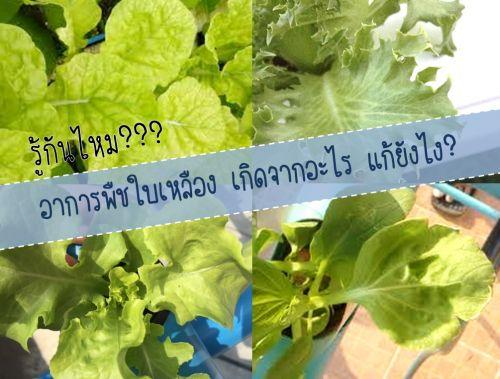 อาการผักใบเหลือง ผักสลัดใบเหลือง ใบซีดเหลือง ใบผักเหลือง