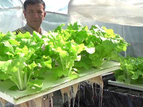 ปลูกผักไร้ดิน ผักสวนครัว โควิด ปลูกผักทานเอง ผักกาดขาว