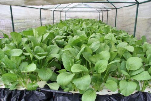 ปลูกผักไร้ดิน ผักสวนครัว โควิด ปลูกผักทานเอง กวางตุ้ง