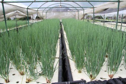 ปลูกผักไร้ดิน ผักสวนครัว โควิด ปลูกผักทานเอง ต้นหอม ปลูกต้นหอม ปลูกผัก