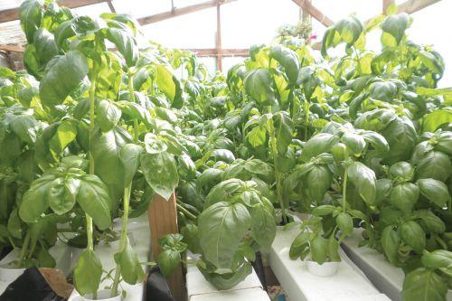 ปลูกผักไร้ดิน ผักสวนครัว โควิด ปลูกผักทานเอง