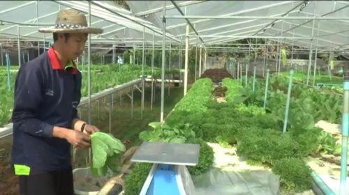 ปลูกผักขาย ปลูกผักไฮโดร รายได้ กำไร รายได้เสริม ไฮโดรโปนิกส์