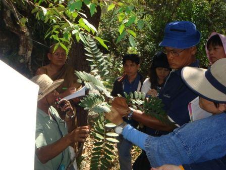 ต้น Tongkut ali หรือปลาไหลเผือก ที ป่าวัดประตูเขาชุมพล จังหวัดชัยภูมิ วิทยากรโดย อ.หมอน้อย จากลำสนธิ