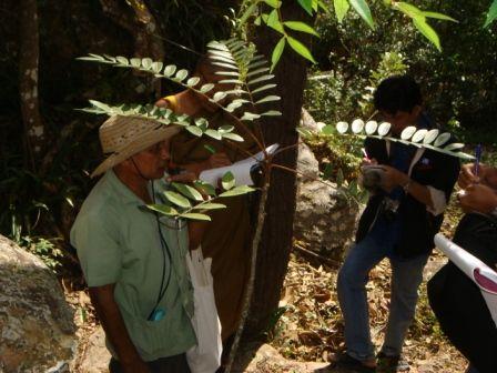 ต้น Tongkut ali หรือปลาไหลเผือก ที ป่าวัดประตูเขาชุมพล จังหวัดชัยภูมิ