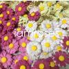 1,000 Random Mixed Pink Cream Daisy Full Bloom Paper Flowers