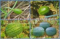 การปลูกแตงโม,การปลูกแตงโมกินรี,การปลูกแตงโมโตปิโด,Watermelon