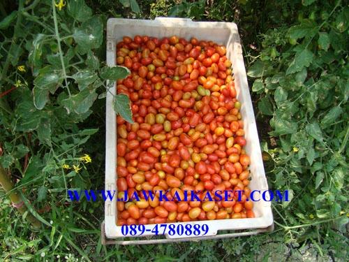 เมล็ดพันธุ์มะเขือเทศเชอรี่154