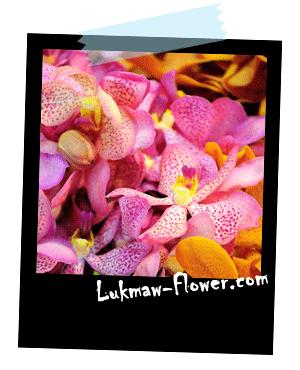 รูปดอกกล้วยไม้ lukmaw-flower.com