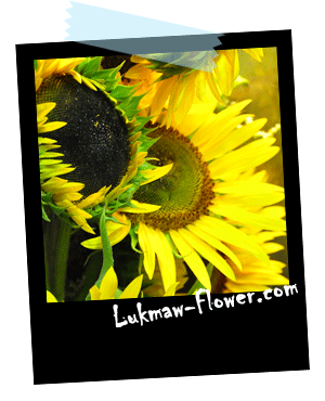 ดอกทานตะวัน lukmaw-flower.com