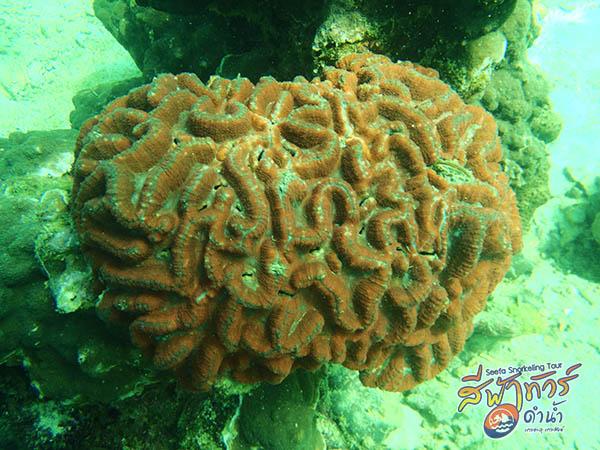 ปะการังสมอง