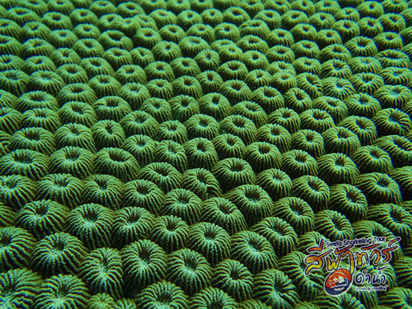 ปะการังดาวหนาม